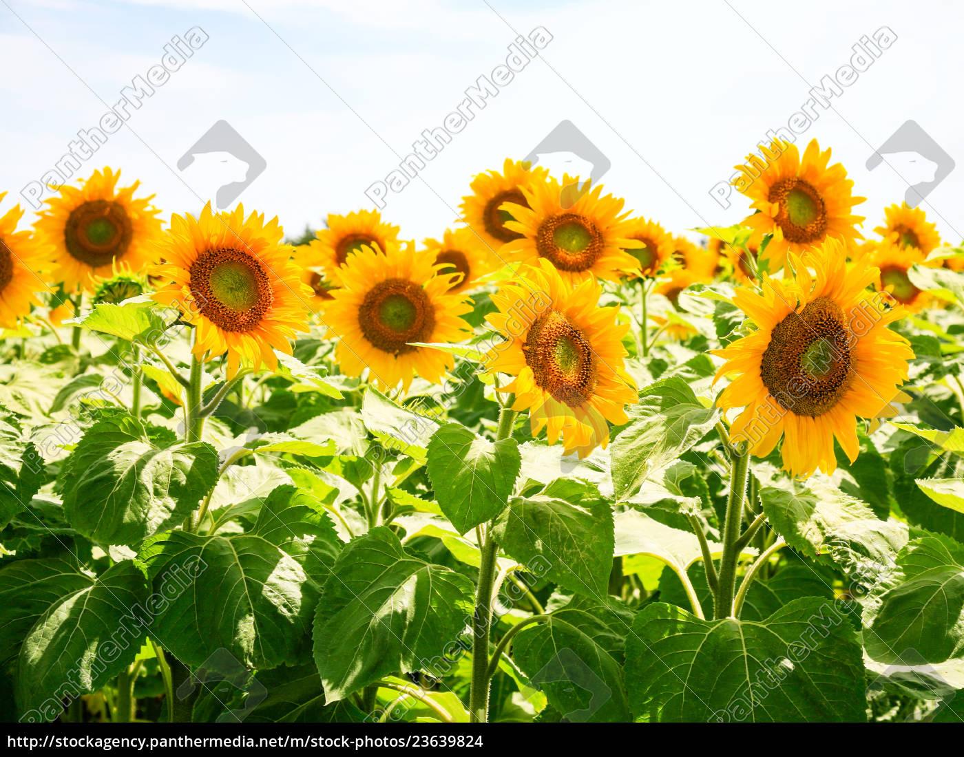 sonnenblumen, unter, blauem, himmel, im, val - 23639824