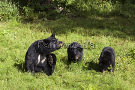 sow black bear and two cubs