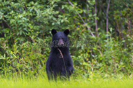 black bear ursus americanus on the