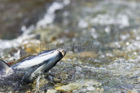 farbe closeup nahaufnahme amerikanisch wild fisch
