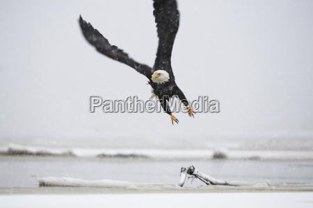 ein weisskopfseeadler haliaeetus leucocephalus fliegt ueber