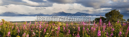 panorama of fireweed chamaenerion angustifolium blossoming