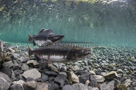 pink salmon oncorhynchus gorbuscha probes her