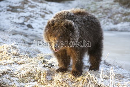 captive kodiak brown bear cub with