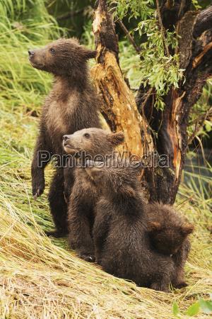 four brown bear cubs ursus arctos