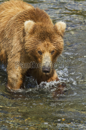 brown bear ursus arctos wading in