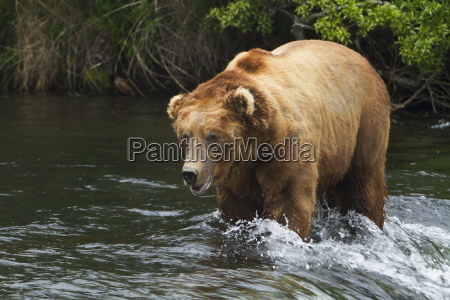 brown bear ursus arctos large male