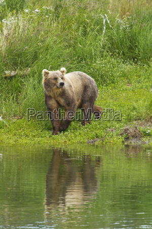 brown bear ursus arctos walking on