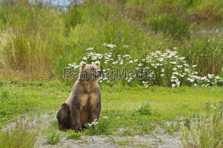 brown bear ursus arctos sitting on