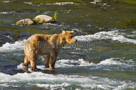 brown bear ursus arctos standing in