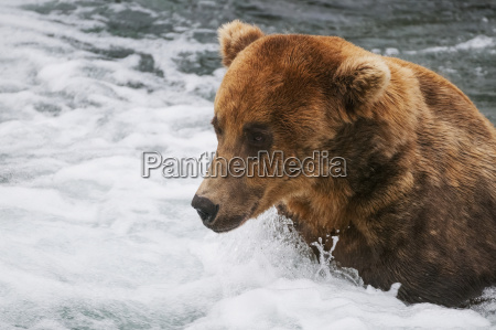 brown bear adult fishes for salmon