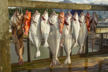 fische werden aufgehaengt und bereit nach