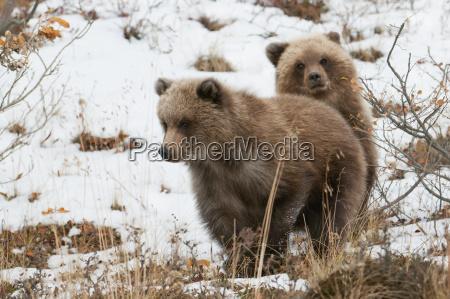 brown bear ursus arctos cubs play