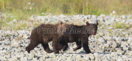 brown bear cubs ursus arctos walking