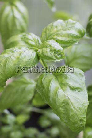 close up of a basil plantanchorage