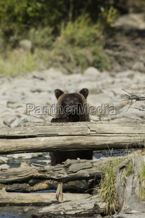 immature brown bear ursus arctos at