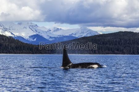 ein orca wal oder killerwal orcinus