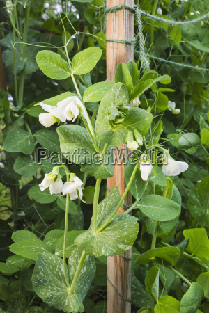 detail organiclly grown snap peas out