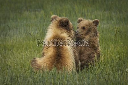 alaskan coastal bear ursus arctos cubs