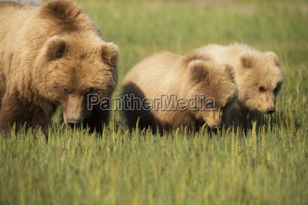 alaskan coastal bear ursus arctos sow