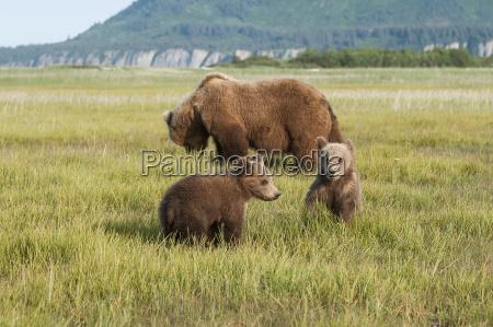 brown bear and cubs ursus arctos