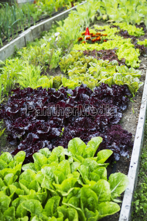 close up of vegetable plants growing