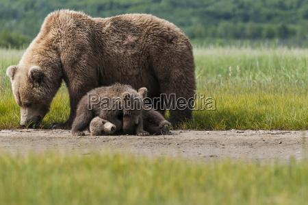 two brown bear cubs ursus arctos