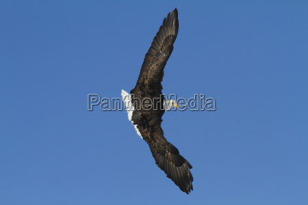 bald eagle in the skies over