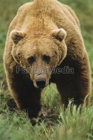brown bear ursus arctos male standing