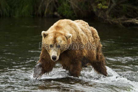 brown bear ursus arctos walking in