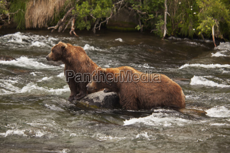 brown bear ursus arctos male and