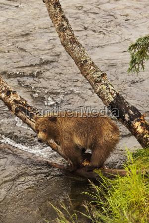 brown bear ursus arctos yearling cub