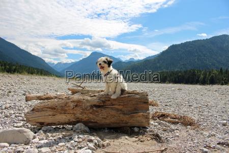 tibet, terrier, , welpe - 23669168