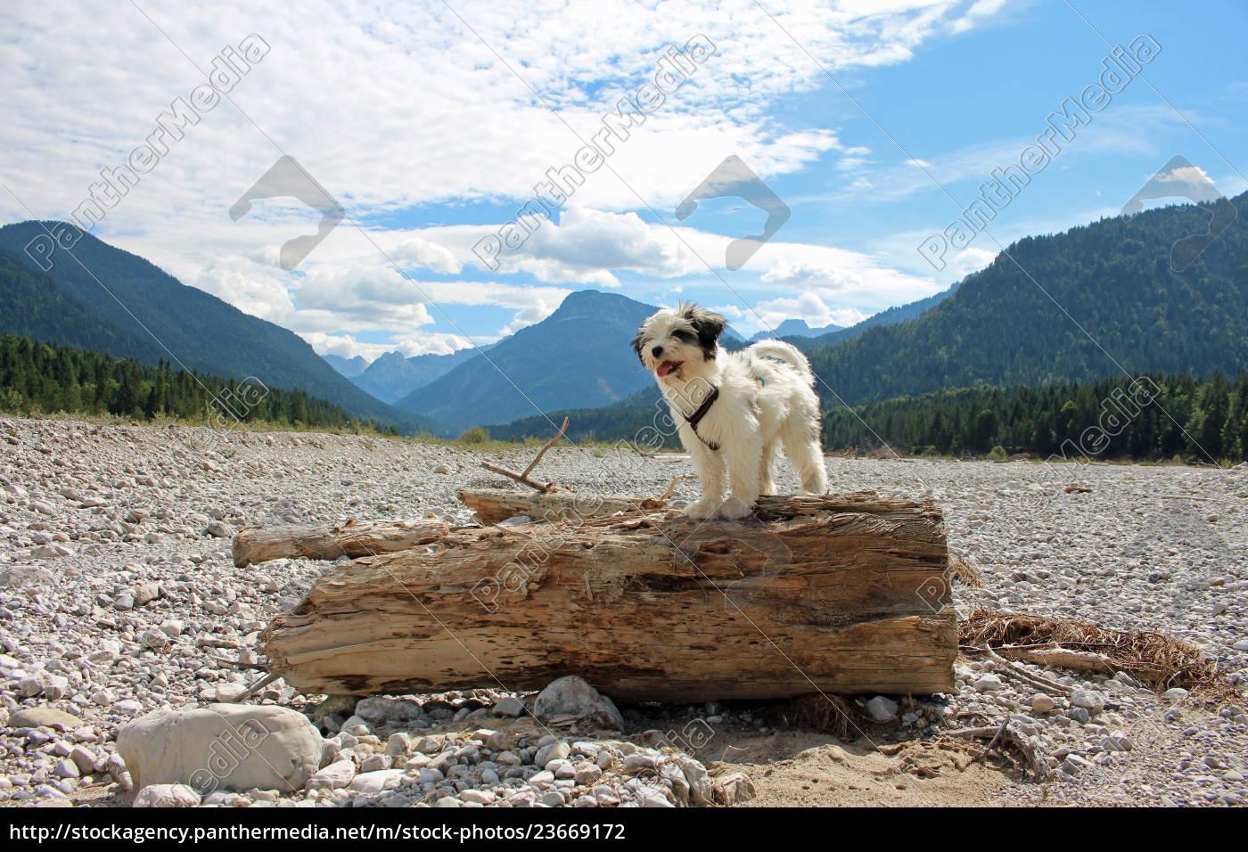 tibet, terrier, , welpe - 23669172
