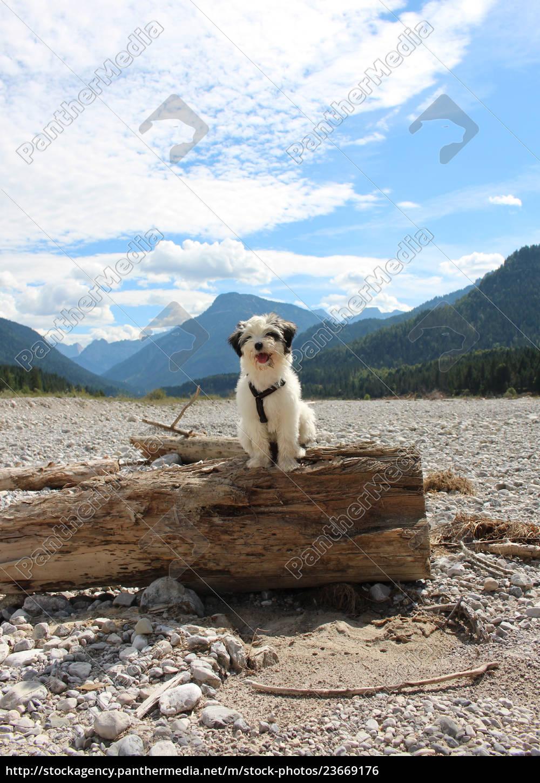 tibet, terrier, , welpe - 23669176