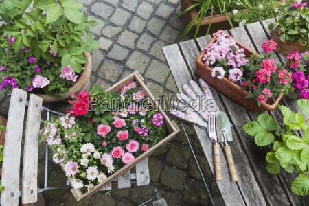 gardening planting of summer flowers rosy