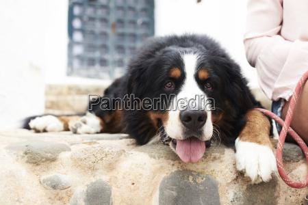 portraet eines berner sennenhunds der aus