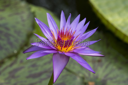 water lily nymphaea hybrid august