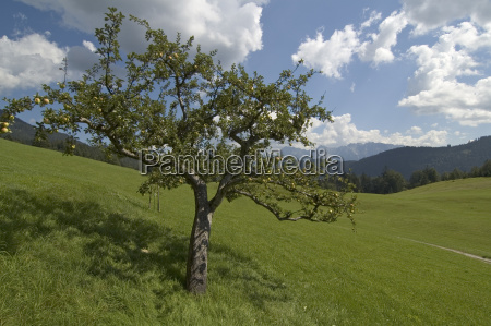 apple tree at the gasthaus gschwandtnerbauer