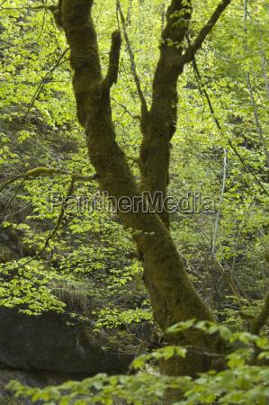baumstamm mit moos uberwachsen in laubwald
