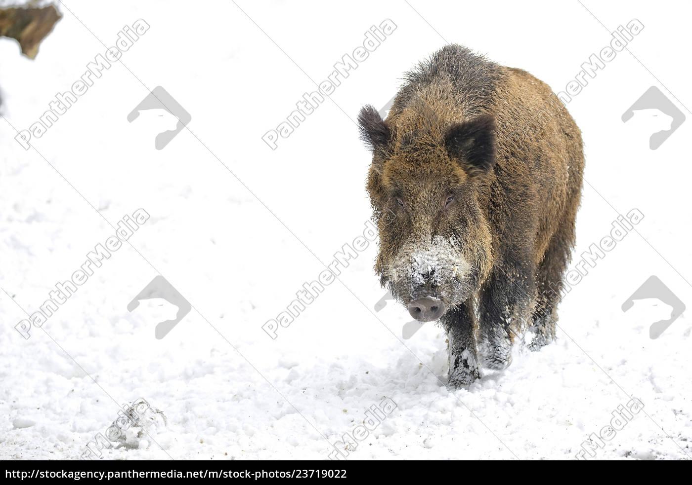 wildschwein, eimim, snow, - 23719022