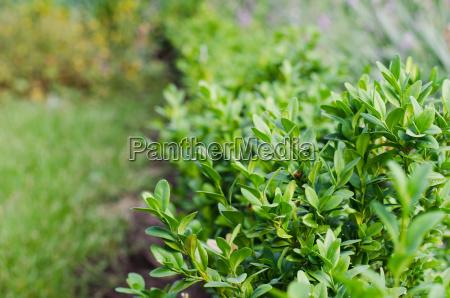 frische gruene buxusblaetter buxus sempervirens
