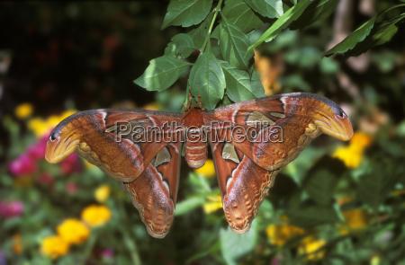 nachtfalter atlas moth attacus atlas