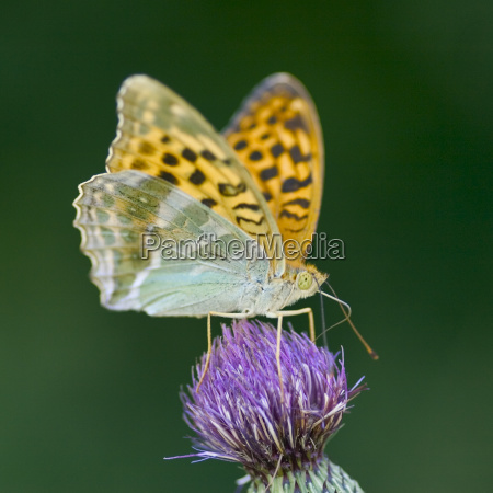 common fritillary butterfly mellicta athalia