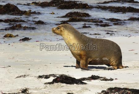 australian sea lion neophoca cinerea seal