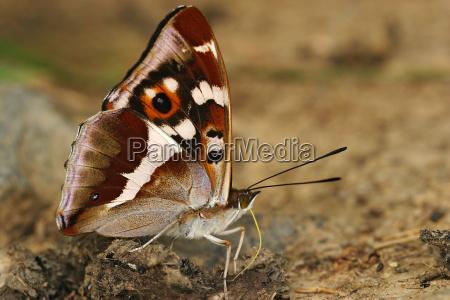 great schiller butterfly apatura iris absorbs