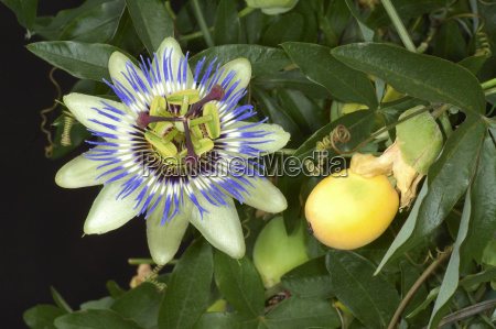 blue passion flower with fruit passiflora