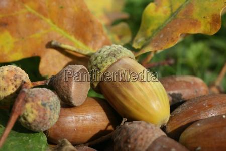 herbstlicher waldboden eicheln und eichenblatter quercus