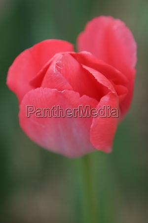 wunderschone zarte tulpenblute leuchtet im licht