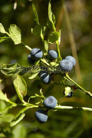 heidelbeere vaccinium myrtillus mit prallen blauen